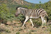 Zebra In Etosha Namibia Wildlife Safari poster