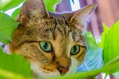 A Muzzle Of A Beautiful Adult Young Tabby Cat With Green Eyes And Brown Velvet Wet Nose Is In Leaves poster