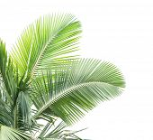 palm tree isolated on white background poster