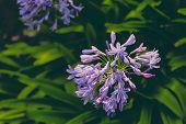 Close-up Of Beautiful Subtropical Agapanthus Lily Of The Nile Plant Shot In Queensland, Australia In poster