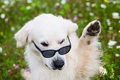 Close-up Portrait Of Funny Golden Retriever Dog Sitting In The Flowers Field, Wearing Sunglasses And poster