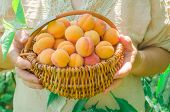 Woman Holding Basket Of Fresh Apricots poster