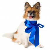 Papillon dog breed with a blue bow