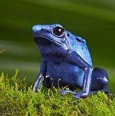 blue poison dart frog, poisonous animal of Amazon rainforest in Suriname, endangered species kept as cute exotic pet in rain forest terrarium, jungle amphibian