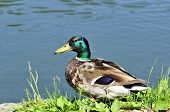 Drake Stands On The Edge Of The Lake. Mallard, Bird, Male. poster