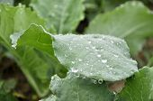 Kale Vegetable Dew Morning Drop