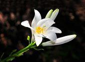 Madonna Lilie (Lilium Candidum)