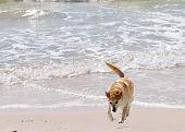 stock photo of heeler  - Australian Heeler dodging the waves as she roams along the beach - JPG
