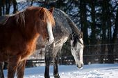 pic of shire horse  - Herd of standing horses in the winter - JPG