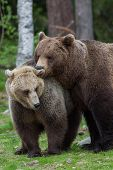 Brown bear love in Finland forest