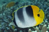 Pacific Double-saddle Butterflyfish