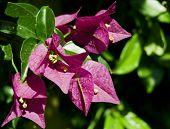 Buganvillea Purple Flowers