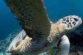 Green Turtle Fin
