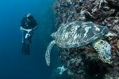 Diver Watching Green Turtle At Sipadan