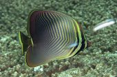 Eastern Triangular Butterflyfish