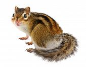 picture of chipmunks  - funny chipmunk  - JPG