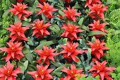 foto of tillandsia  - The red flowers guzmania beautiful green leaves - JPG