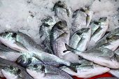 Herring Fish In the Ice