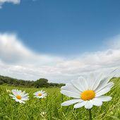 Kamille zomer landschap