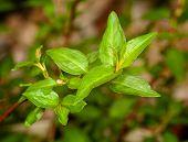 Macro Vietnamese Coriander Herb Plant