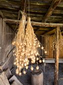 Bunches Of Nigella Seed Pods Hanging In Barn