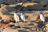 Family of NZ Yellow-eyed Penguin or Hoiho on shore