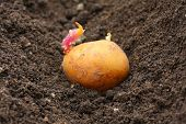 Planting of a germinated potatoes on a bio garden. Close up with shallow DOF.