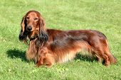 foto of long hair dachshund  - The typical Dachshund Standard Long - JPG