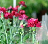 Dianthus In A Sunny Day With Selective Focus