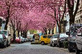 Rows Of Cherry Blossom Trees On Heerstrasse (cherry Blossom Avenue) In Bonn In Germany