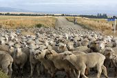 A mob of lambs in New Zealand.