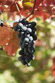 Uvas pretas com folhas coloridas
