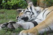 Pretty Tiger