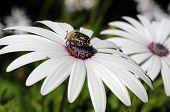 Beetle on white osteospermum.