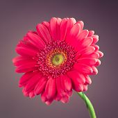 pink gerbera flower on purple background