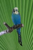 Blue Budgie On Perch