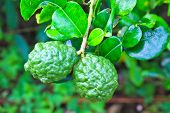 foto of citronella  - Leech lime or bergamot fruits on tree in garden - JPG