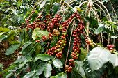stock photo of coffee crop  - Coffee tree with red ripening bean at coffee plantation - JPG