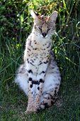 Serval Wild Cat