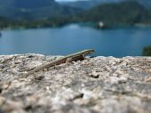 image of 24th  - A lizard watches down on Lake Bled Slovenia - JPG
