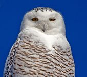 stock photo of hedwig  - A Snowy owl looks inscrutable against a blue Alberta sky - JPG