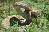 image of timber rattlesnake  - Shot of a timber rattlesnake taken in New Mexico - JPG