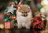 Pomeranian spitz, christmas puppy