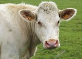 pic of charolais  - Charolais cow grazing on pasture in Burgundy - JPG