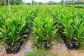 Palm oil plants