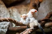 picture of marmosets  - family of small white silvery Marmoset on branch - JPG