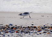 Plover On The Hunt