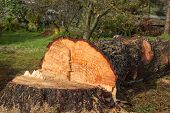 Cut Down Pine
