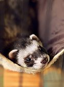 foto of ferrets  - cute ferret lying on its hammock looking to camera - JPG