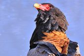 Bateleur Eagle Background - Wildlife from Africa